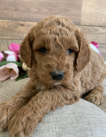 Lasting Legacy Puppies – The Lakes